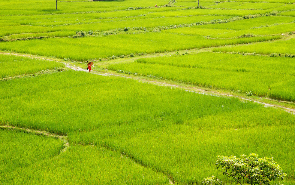 Weak monsoon drying up paddy in Province-7